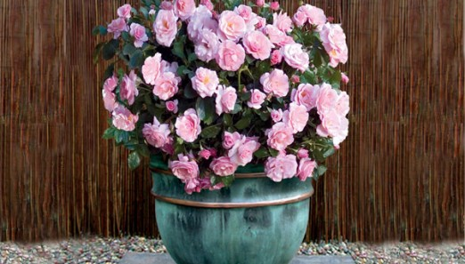 Roses-Indoors-in-Pots